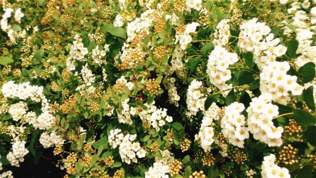 färska vita blommor och gröna blad-spiraea bush - white roses bildbanksvideor och videomaterial från bakom kulisserna