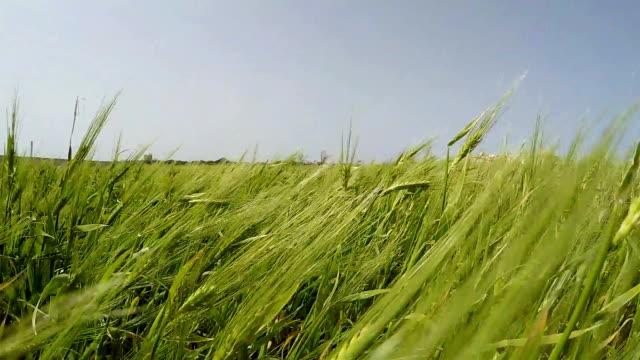 Fresh wind blowing on Green Rye field slow motion footage Fresh wind blowing on Green Rye field slow motion footage rye grain stock videos & royalty-free footage