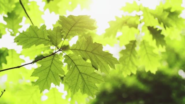 свежие молодые зеленые листья дуба в ярком солнечном свете - дубовый лес стоковые видео и кадры b-roll