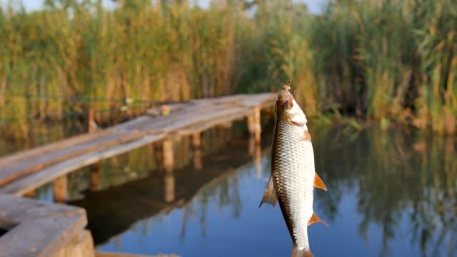 frisch gefangenen rudd-fischfisch, der an einer angelrute hängt, an einem haken. - fang stock-videos und b-roll-filmmaterial
