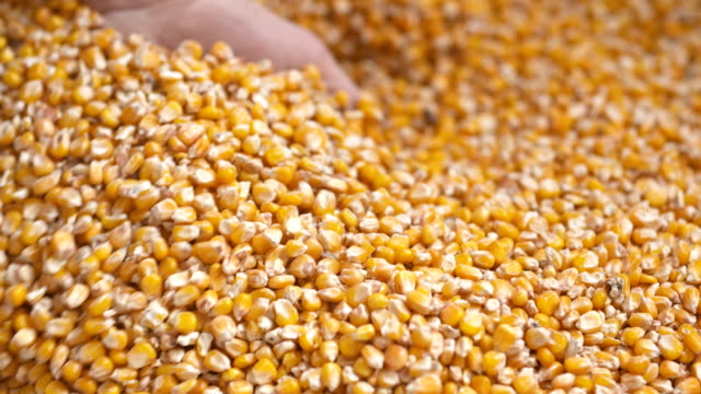 vídeos de stock e filmes b-roll de freshly harvested maize corn grains. agriculture background, corn harvesting - corn