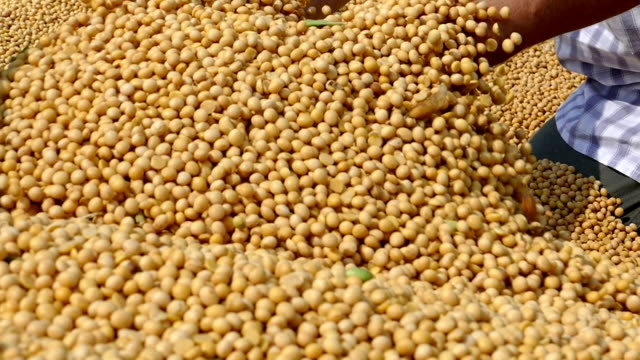 freshly harvested soybean - семя стоковые видео и кадры b-roll