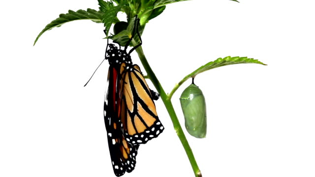Freshly hatched butterfly monarch hanging on green staff and pupa video