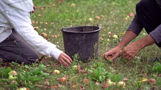 Bидео Freshly picked apples in grass