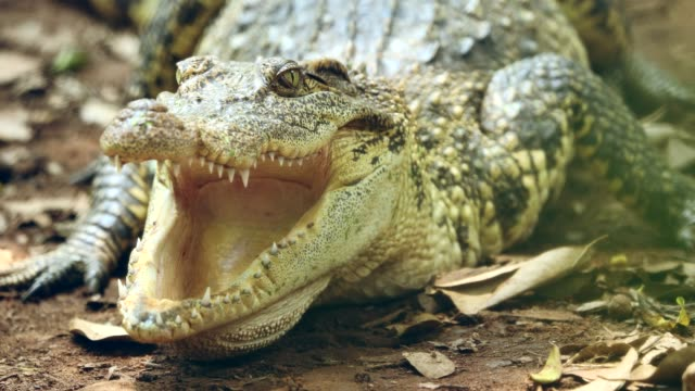 süßwasser krokodil in thailand - süßwasser stock-videos und b-roll-filmmaterial