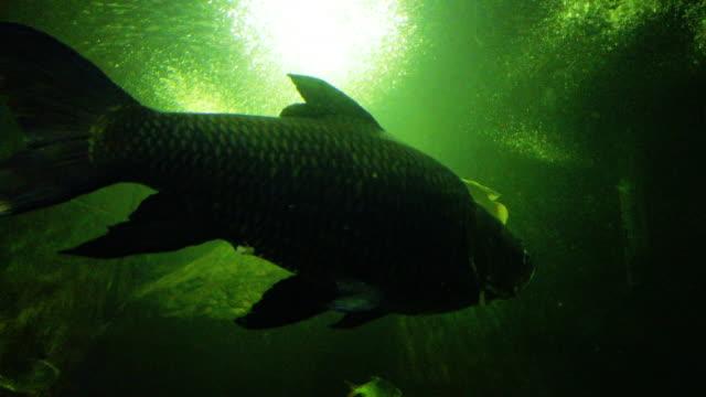 stockvideo's en b-roll-footage met zoetwatervissen karper onderwater vissen - carp