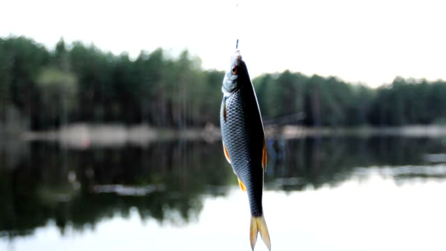 Freshwater fish hanging on a fishing hook. video