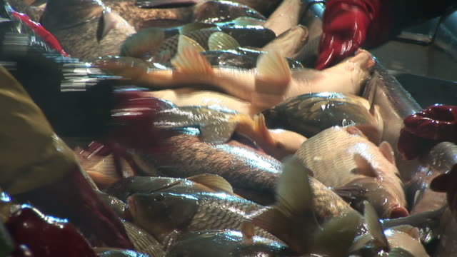 Freshwater fish in pond video