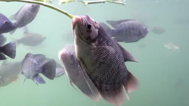 stockvideo's en b-roll-footage met zoetwater vissen zwemmen onder water. door te kijken vanaf de zijkant. - carp