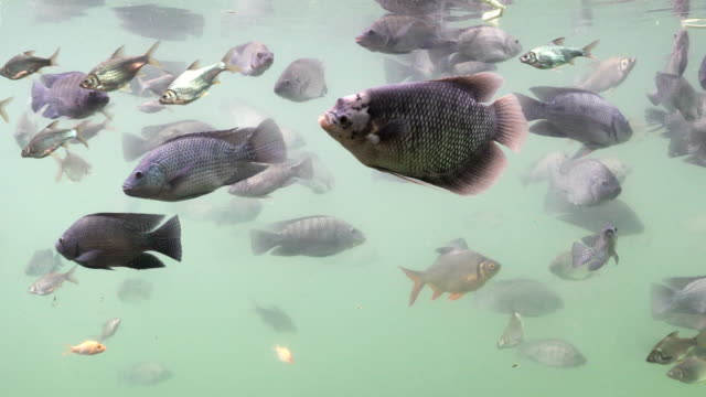 Freshwater fish swim underwater. By looking from the side. video
