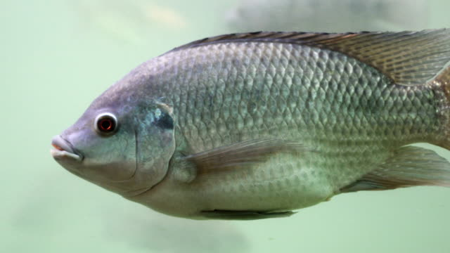 Freshwater fish swim underwater. By looking from the side. - vídeo