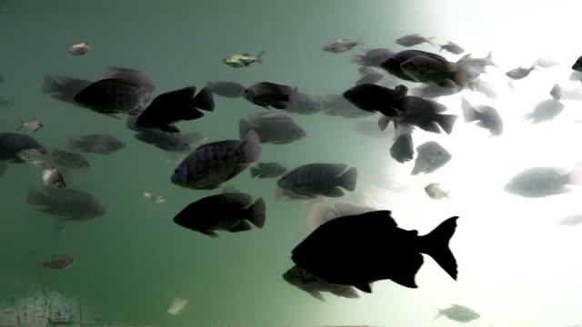 süßwasser fische schwimmen unter wasser. durch den blick von der seite. - süßwasser stock-videos und b-roll-filmmaterial