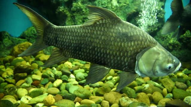 freshwater fish - karp filmów i materiałów b-roll