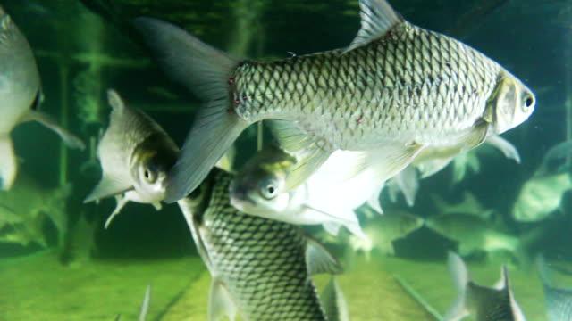 stockvideo's en b-roll-footage met freshwater fish - carp