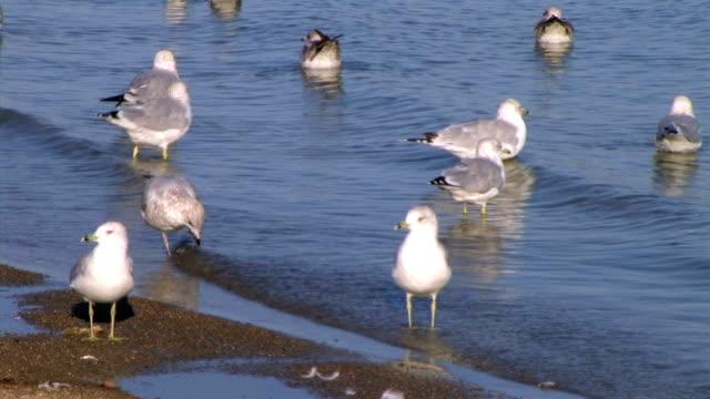 Freshwater Seagulls on Shore (NTSC_link_below) video