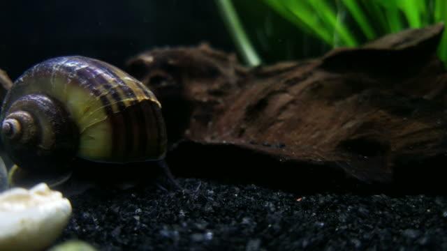 4K Freshwater snail video
