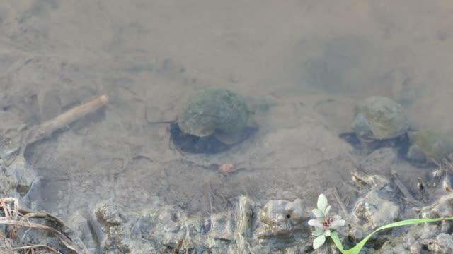 freshwater snailsin the stream video