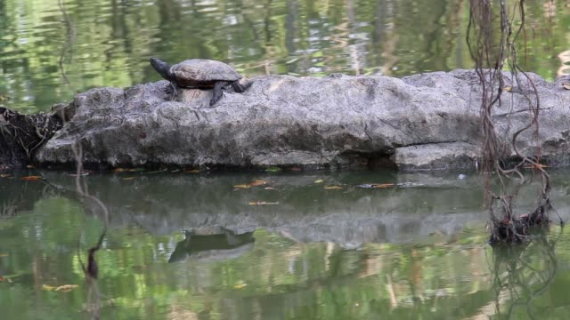 Freshwater turtle or terrapin basking of sun on rock  of water in nature habitat. video