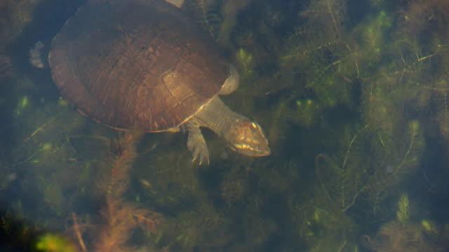 freshwater turtle - süßwasser stock-videos und b-roll-filmmaterial