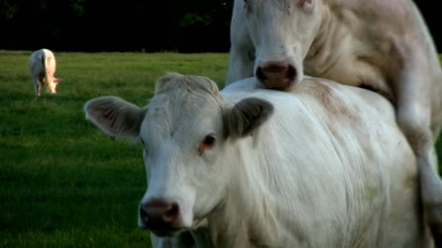 Friendly Cattle Hd Stock Video Download Video Clip Now Istock