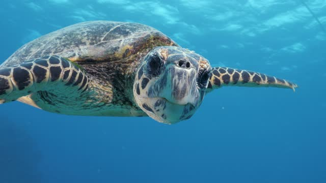 A friendly Hawksbill turtle swims along side a scuba diver and turns its head to face the diver A friendly turtle swims through clear blue water and looks at a scuba diver turtle stock videos & royalty-free footage