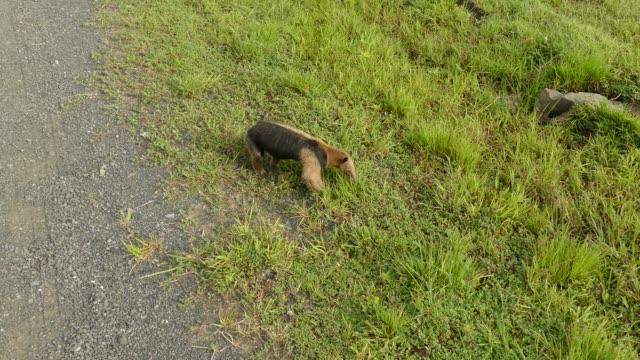 freundliche nördliche tamandua exotische säugetier futter im gras in der nähe von kamera - ameisenbär stock-videos und b-roll-filmmaterial