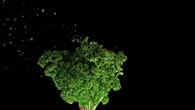 Friesian Parsley, Petroselinum crispum, with Water Splashing on Black Background, Slow Motion 4K