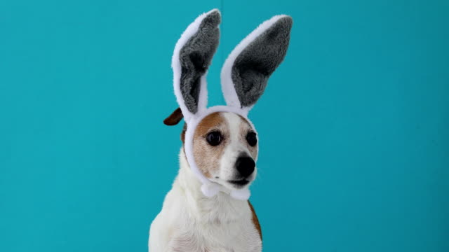 cane spaventato con orecchie di coniglio - easter video stock e b–roll