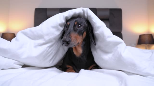 Frightened little black and tan dachshund dog is trembling lying on the bed, covered with a white warm blanket and barking expressively like a watchdog at home or in a dog-friendly hotel room. Frightened little black and tan dachshund dog is trembling lying on the bed, covered with a white warm blanket and barking expressively like a watchdog at home or in a dog-friendly hotel room. hiding stock videos & royalty-free footage