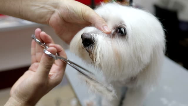 Frightened  white maltese being groomed. Frightened  white maltese being groomed. hairstyle stock videos & royalty-free footage