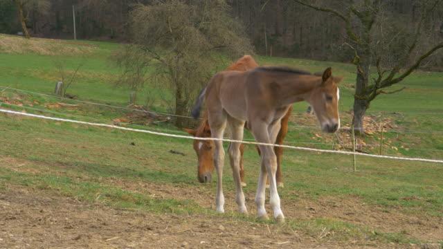 close up: frisky stutfohlen und mutter grasen in einem geschlossenen grasfeld in der nähe des waldes - pferdeartige stock-videos und b-roll-filmmaterial