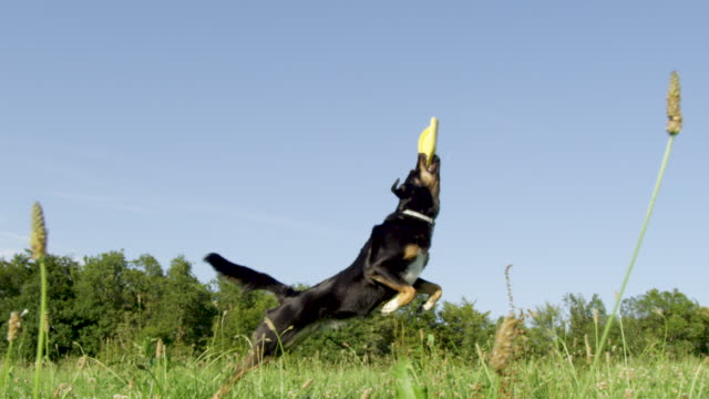 SLOW MOTION: Frisky young dog catches a yellow frisbee flying high in the air