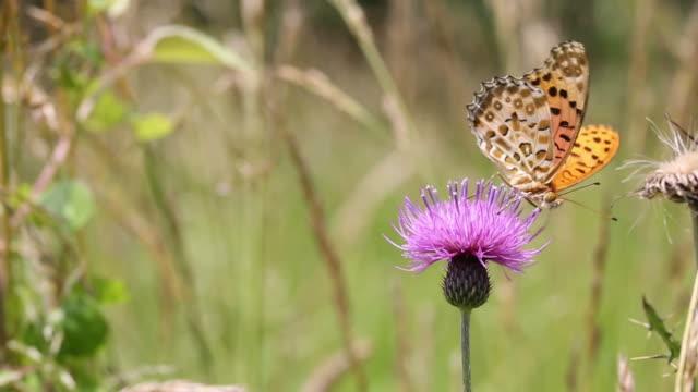 pärlemorfjäril fjäril - vild blomma bildbanksvideor och videomaterial från bakom kulisserna