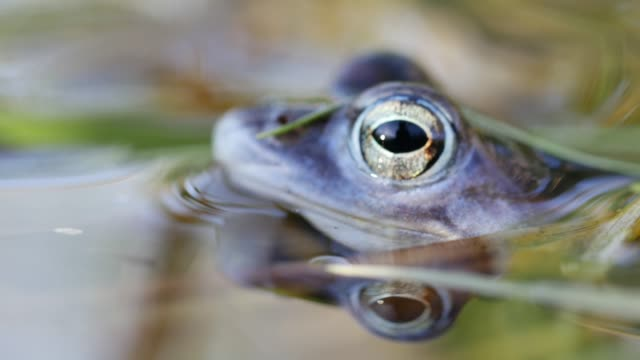 Frog croaks in shallow water video