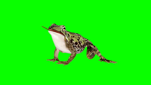 Frog Eating Green Screen (Loopable) Perpective View Chroma Key frog stock videos & royalty-free footage