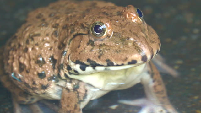 Frog in a water Close-up frog open mouth in a water frog stock videos & royalty-free footage