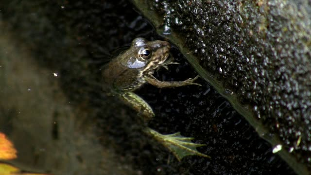 Frog in pond video