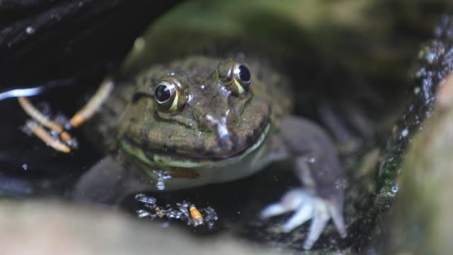 Frog in the water video