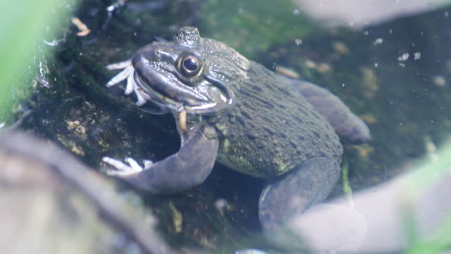 Frog in the water Frog in the water sac stock videos & royalty-free footage