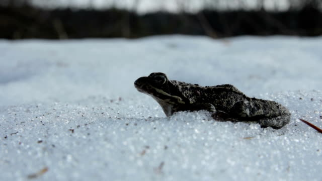 Frog is breathing in the snow Frog is breathing in the snow frog stock videos & royalty-free footage