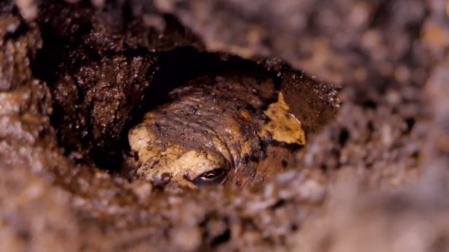Frog living in burrow. video