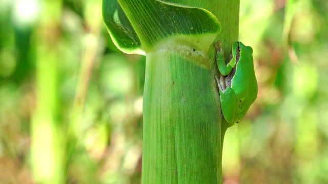 Frog on corn leaf close up. Sony 4k shoot video