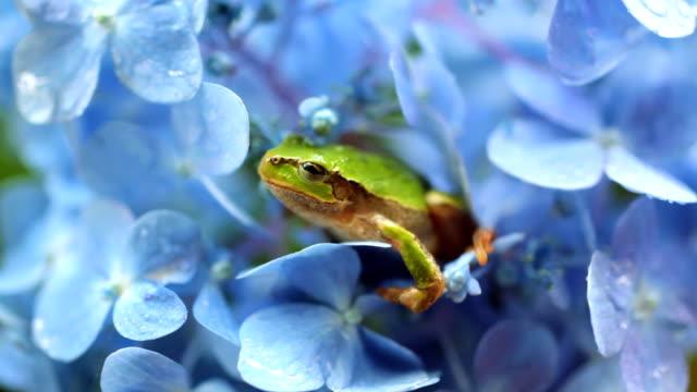 frosch auf hortensie - hortensie stock-videos und b-roll-filmmaterial