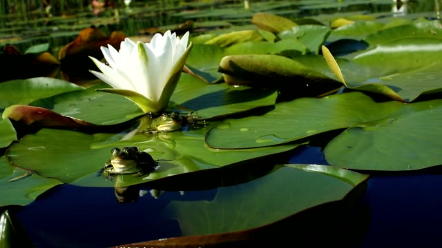 Frog Sits On A Green Leaf Of Water Lily Or Lotus video