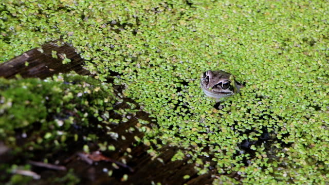 Frog sitting on a snag in the swamp among a duckweed in the summer Frog sitting on a snag in the swamp among a duckweed in the summer duckweed stock videos & royalty-free footage