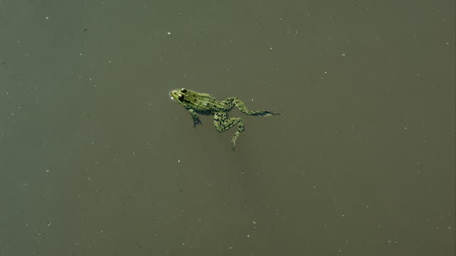 frog swimming in a pond - lingua russa video stock e b–roll