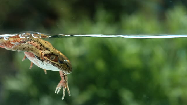 Frog swimming underwater, slow motion  frog stock videos & royalty-free footage