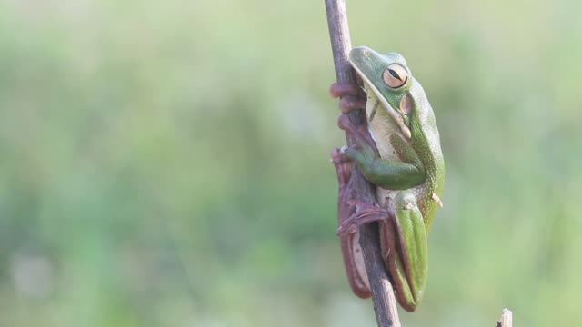 frog frogs, white lips tree frogs on twigs frog stock videos & royalty-free footage