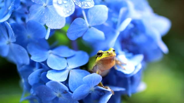 stockvideo's en b-roll-footage met frog - hortensia
