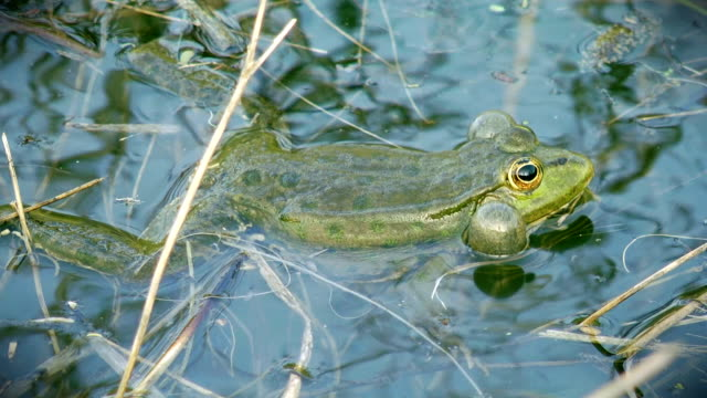 Frog Frog swimming and croaking in pond. Close-up. frog stock videos & royalty-free footage